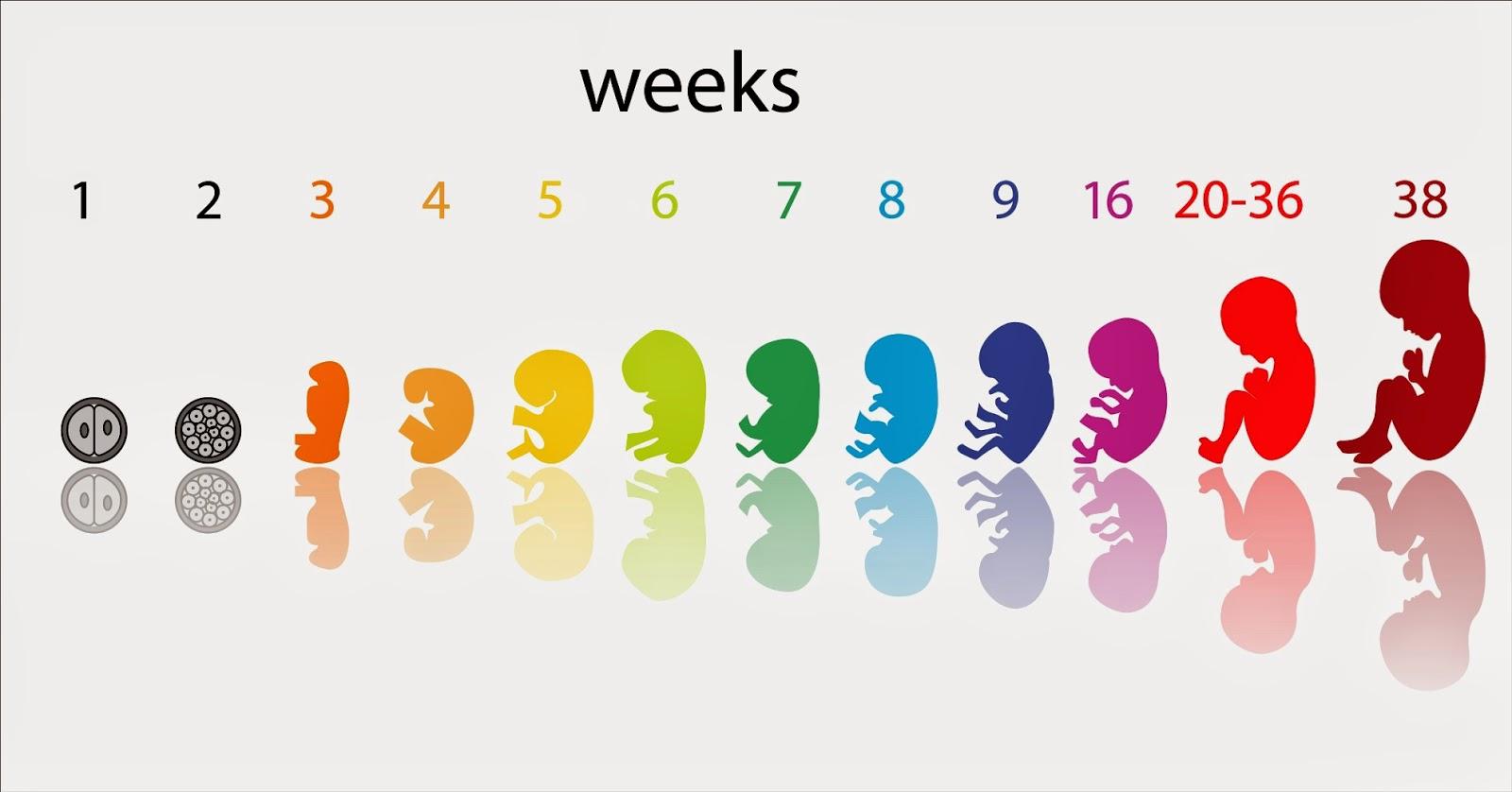 Edad-Gestacional-3
